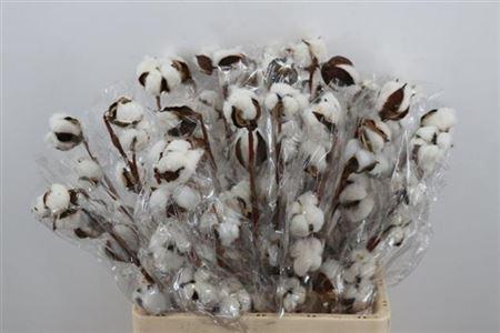 Cotton on the stem