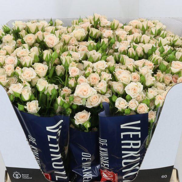 Spray Roses Cream Garcia