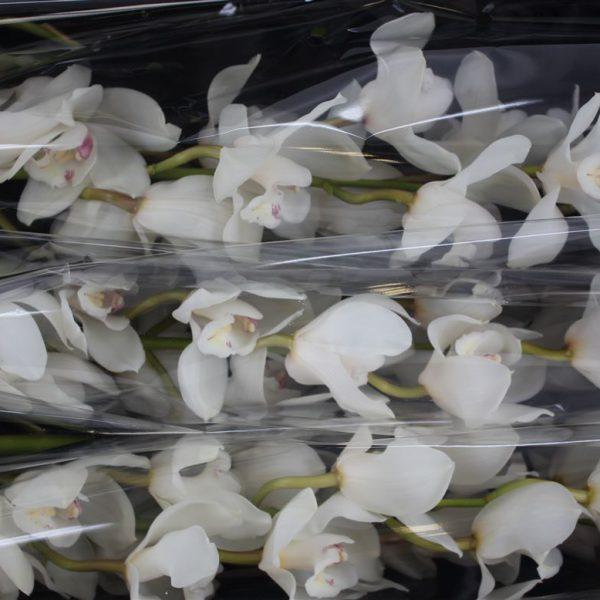 Cymbidium White