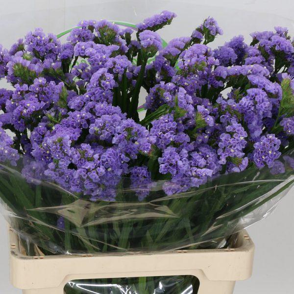 Statice Lilac