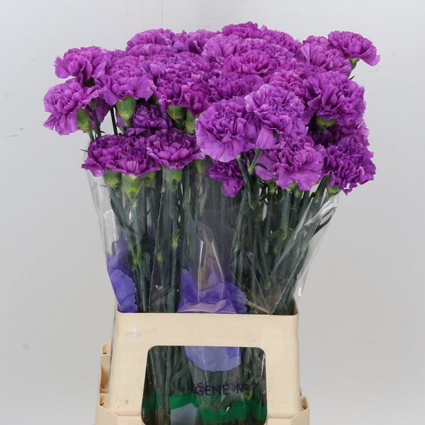 Carnations Lilac