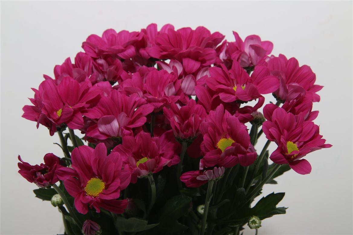 Chrysanthemum Purple