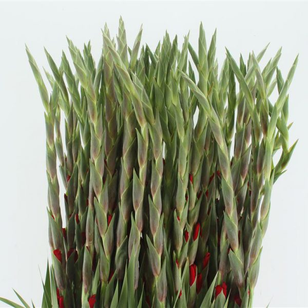 Gladioli Red