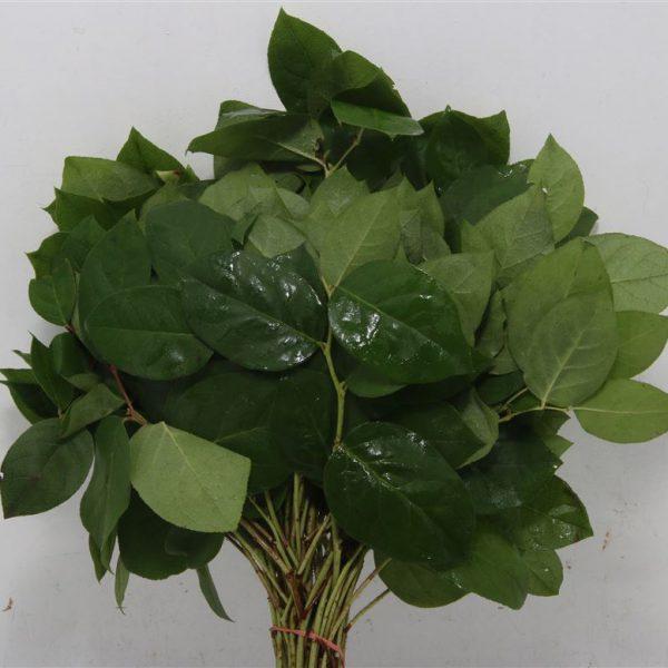 Salal Leaf