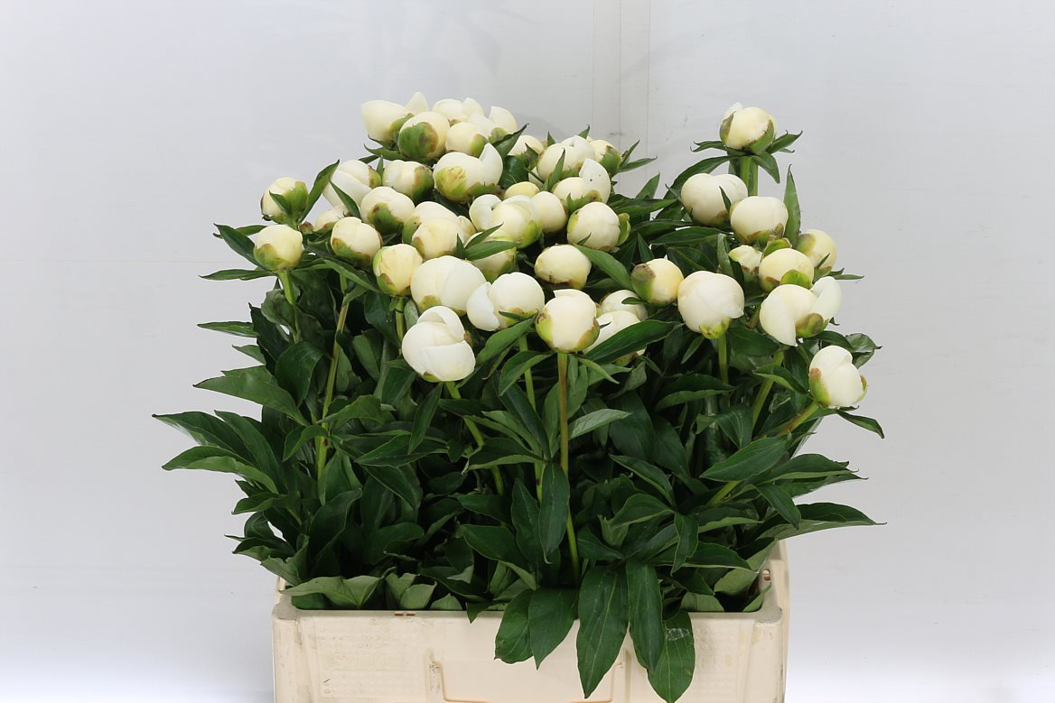Peony Rose White