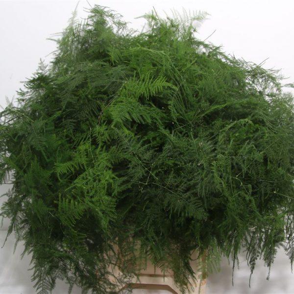Asparagus Setaceus Long